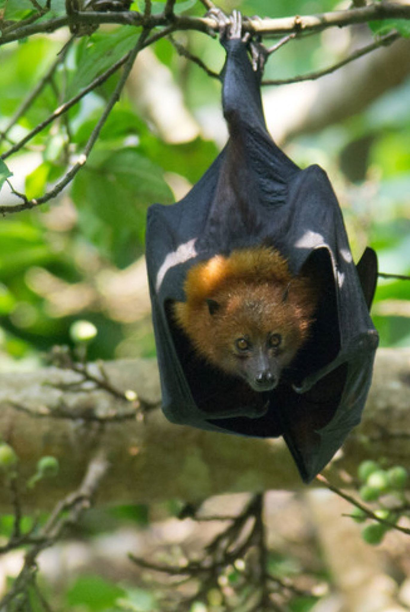 PEMBA FLYING FOX FOREST